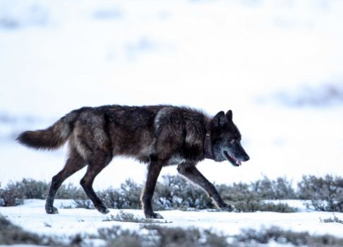 Collared Wolf