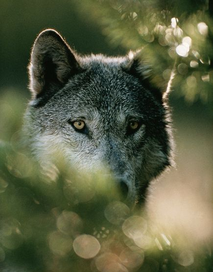 Wolves still need our protection the wolf preservation blog for Plenty of fish boise