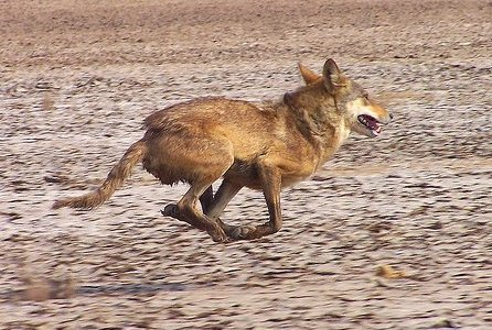 Only 2 countries in the Middle East protect the wolf | The Wolf ...