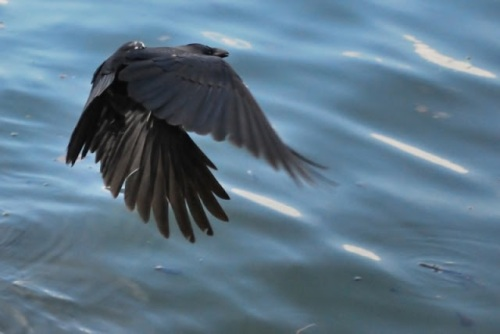 Raven with beautiful wings in the down stroke flying over water.