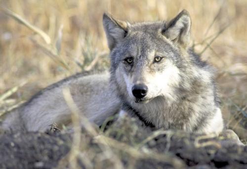 Utah Wolf