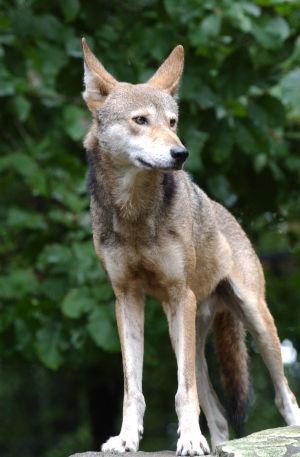 Wolf Zoo