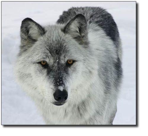 Snow Gray Wolf