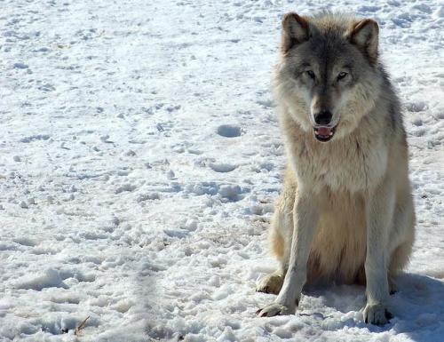 Big Snow Wolf