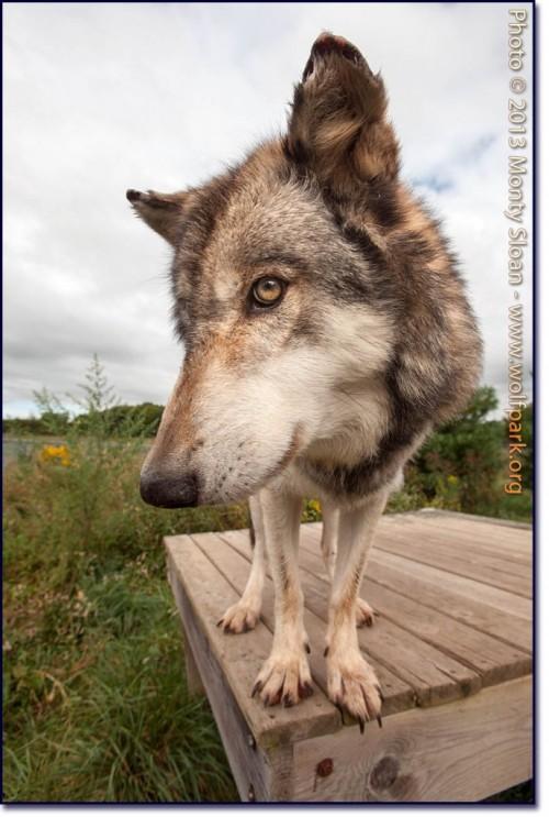 Wolf Park wolf copyright