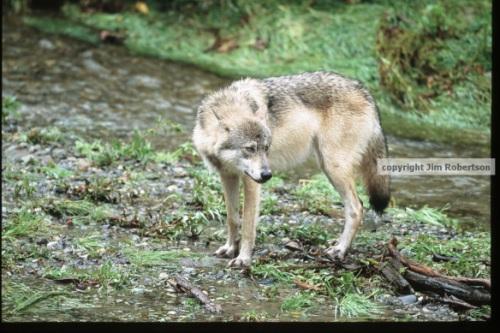 Wolf River (Jim Robertson)