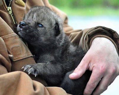 Alaskan Wolf Pup