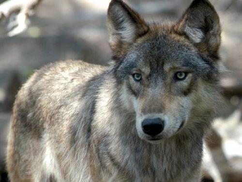 NEW wolf
