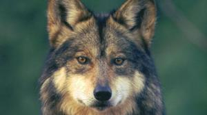 mexican gray wolf recovery